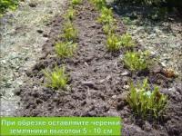 Готовим землянику к будущему урожаю