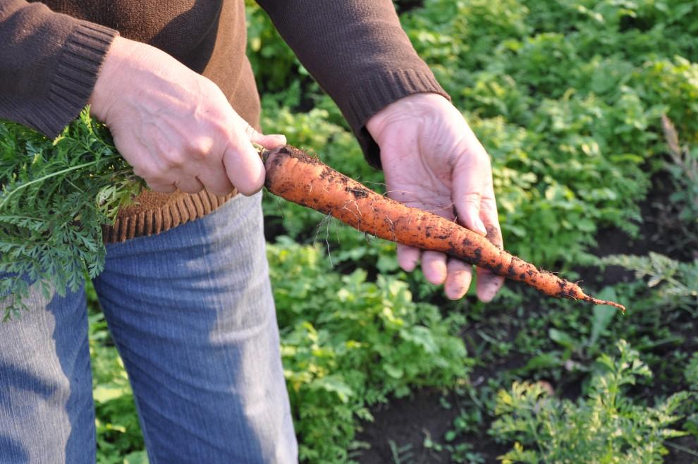 Какими удобрениями подкормить морковь