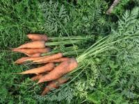 Какими удобрениями можно подкармливать в августе морковь?