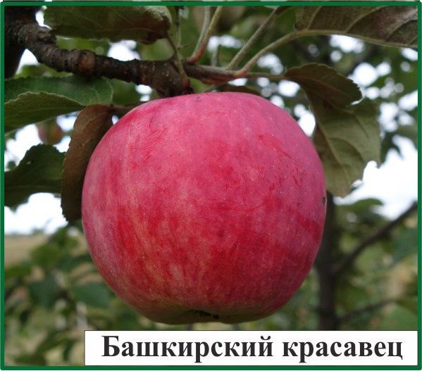 Лучший сорт яблони для средней полосы россии