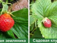 7 отличий клубники от садовой земляники