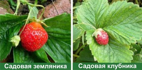 разница земляника чем клубника в фото виктория
