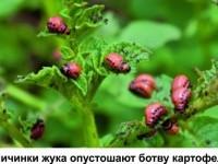 ЖИЗНЬ ЖУКА КОЛОРАДСКОГО. Часть 3. Почему инсектициды становятся бесполезными?