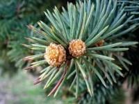 Можно ли зимой употреблять почки деревьев для укрепления здоровья?