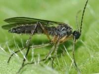 ВРЕДИТЕЛИ РАССАДЫ. Грибные комарики