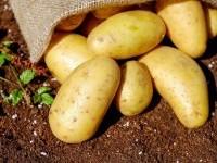 Дегустация народных сортов картофеля с пользой для природы