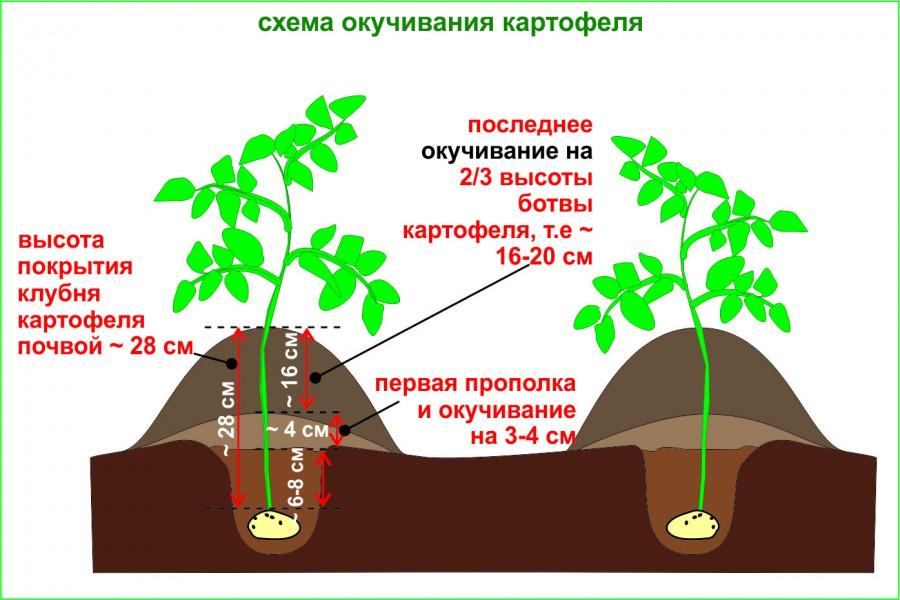Урожайность картошки с 1 сотки